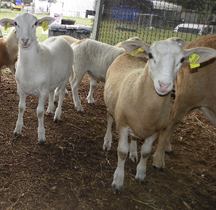 Katahdin Hair Sheep